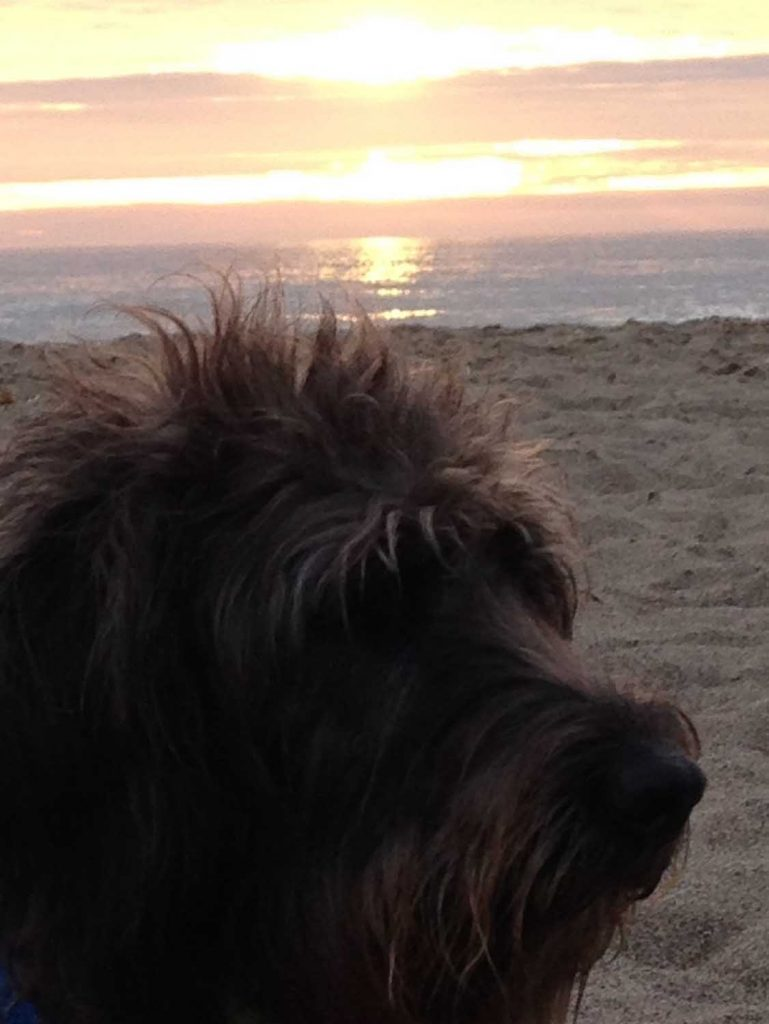 2-koahberry-black-labradoodle-dog-koah-beach-sunset