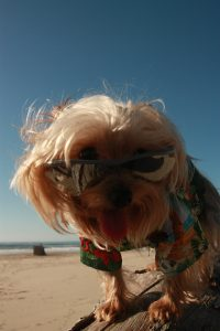 koahberry-dog-chloe-yorkie