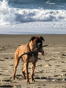 koahberry-dog-stick-tree-bella-boxer-play