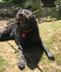 koahberry-dog-stick-tree-koah-labradoodle-play
