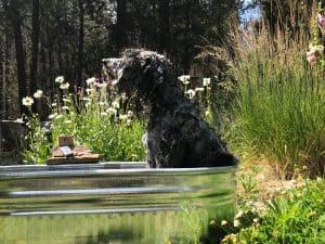koahberry-dog-charcoal-lavender-soap bar-labradoodle-bath