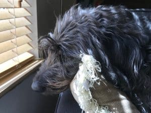 koahberry-dog-koah-labradoodle-inside-window