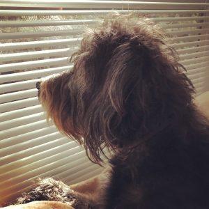 oahberry-dog-koah-labradoodle-window-inside