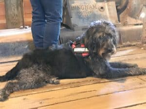 koahberry-dog-service dog-training-working dog