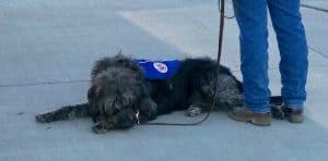 koahberry-dog-service dog-working-koah