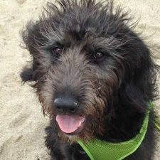 8-koahberry-black-labradoodle-dog-koah-face-tongue-beach